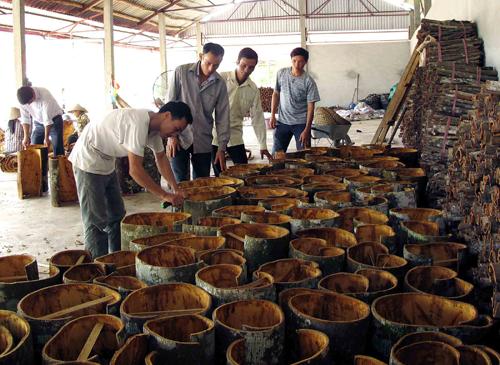 Quế được xem là cây trồng chủ lực ở Văn Yên. Ảnh: quevanyen