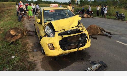 taxi-dam-chet-3-con-bo-tai-phu-quoc