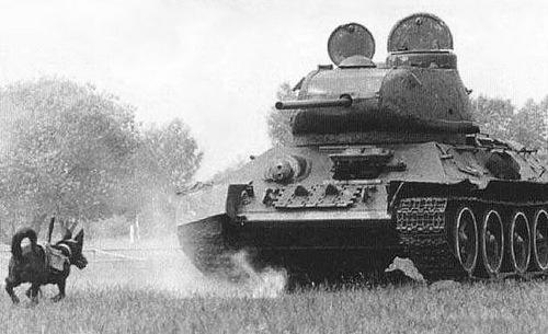 Chó chống tăng - vũ khí đáng sợ trong Thế chiến II - ảnh 1