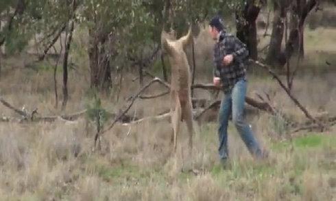 nguoi-dam-kangaroo-giai-cuu-cho-cung-bi-dieu-tra-nbsp