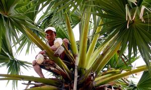 Trèo cây thốt nốt lấy nước làm đường