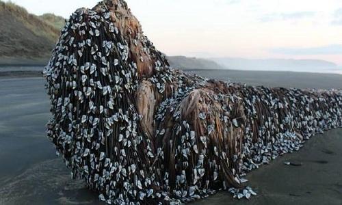 'Quái vật Muriwai' phủ đầy hà dạt vào bờ biển New Zealand