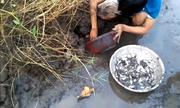 Thanh niên bắt trăm con cá trời cho trong vũng nước cạn