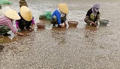 Ngao chết trắng bờ biển ở Thanh Hóa