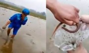 Sát thủ thọc tay bắt 60 con lươn trốn dưới ruộng bùn