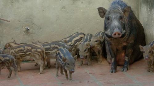 Thịt lợn rừng lai được nhiều người tiêu dùng ưa chuộng. Ảnh: Bizmedia.