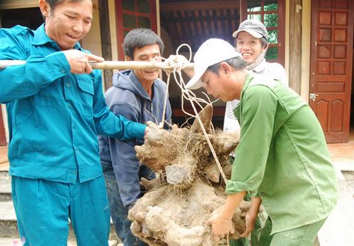 nong-dan-dao-duoc-cu-khoai-vac-nang-73kg