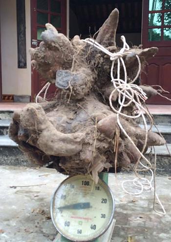 nong-dan-dao-duoc-cu-khoai-vac-nang-73kg-1