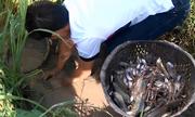 Hai người bắt hàng trăm con cá mắc cạn trong vũng nước