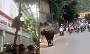 Cảnh sát nổ súng hạ gục trâu điên ở Sơn La