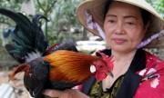 Nuôi gà rừng thu 800 triệu đồng một năm ở Đồng Nai