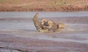 Bầy sư tử đói hợp sức tấn công cá sấu khổng lồ để tranh ăn