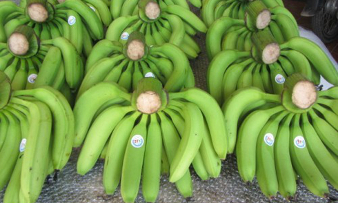 Một hecta đất trồng chuối cho doanh thu gấp chục lần vốn ban đầu