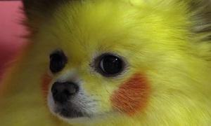 Người Sài Gòn chi tiền triệu làm đẹp cho thú cưng chơi Tết