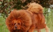 Những chú chó khổng lồ nhất thế giới