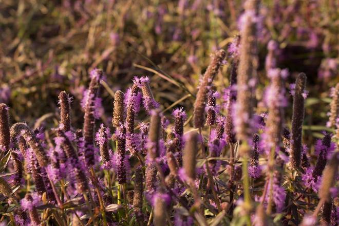 Giới trẻ Đắk Lắk phát sốt với cánh đồng hoa tím
