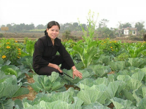 '4 nhà' phối hợp trồng rau hữu cơ