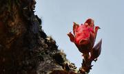Độc đáo hoa đào Thất thốn tiến vua