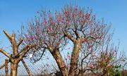 Những cây đào Tết hét giá hàng trăm triệu đồng
