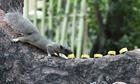 Người phụ nữ rải chuối nuôi sóc hoang trong công viên Tao Đàn