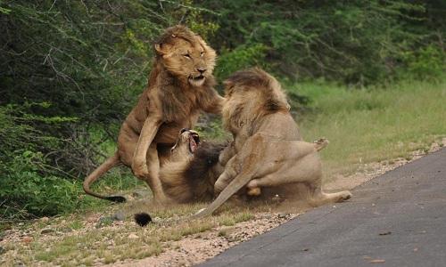Ba sư tử đực hỗn chiến ven đường
