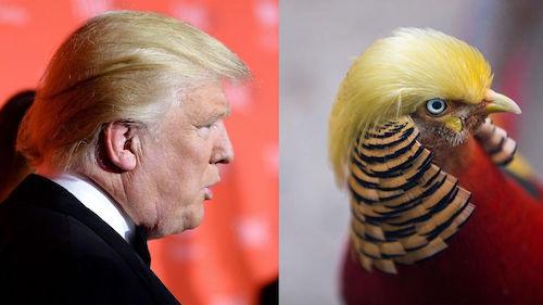 một con chim trĩ đỏ ở Chiết Giang, Trung Quốc, cũng bỗng nhiên trở nên nổi tiếng nhờ kiểu tóc vàng óng giống hệt ông Trump.