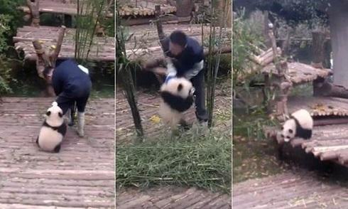 Gấu trúc ôm chân nhân viên vườn thú dai như đỉa