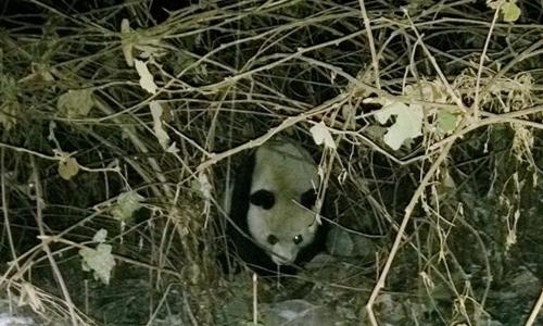 Một con gấu trúc trong môi trường tự nhiên ở Trung Quốc. Ảnh: Chinanews