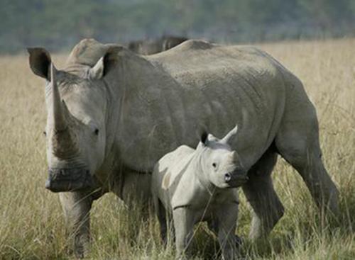 Tê giác trắng tại Nam Phi. Ảnh: rhinos-irf.org