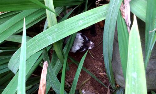 : Cá thể cầy nấp trong bụi cây giữa vườn