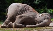 Voi - Động vật có vú ngủ ít nhất thế giới