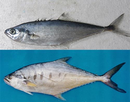 Hai loài cá xược khác là Scomberoides tala và Scomberoides tol