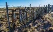 Nông dân Argentina treo 20 xác cáo để xua thú gây hại