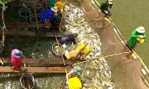 Đội bắt cá thuê ở miền Tây