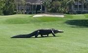 Cá sấu khổng lồ làm gián đoạn trận đấu golf ở Mỹ