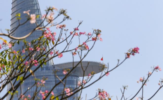 Những ngày này, thời tiết Sài Gòn nắng nóng, chính vì vậy những đóa kèn hồng được dịp bung nở, làm cho thành phố thêm phần thơ mộng.