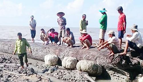 Bị chôn vùi hàng chục năm ở cửa biển nhưng gỗ cây còn nguyên vẹn. Ảnh: CM