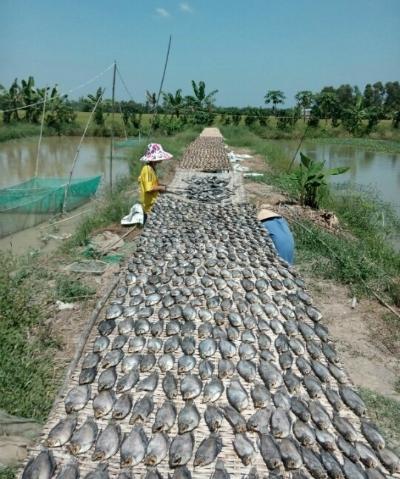 Nông dân trở thành tỷ phú nhờ bán cá giống và làm khô cá