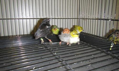 Người gốc Việt giấu 93 con chim trong hành lý vào Mỹ - ảnh 2