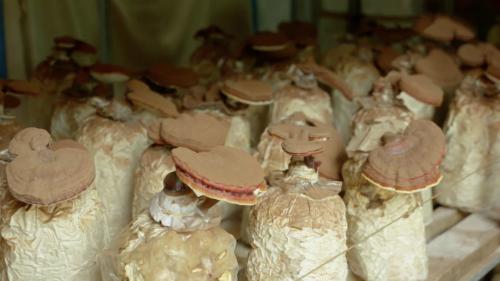 Lãi tiền tỷ mỗi năm nhờ sản xuất nấm sạch