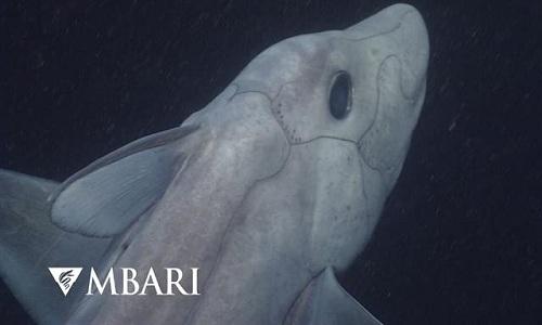 Cá mập ma tồn tại trên Trái Đất từ trước thời khủng long. Ảnh: MBARI