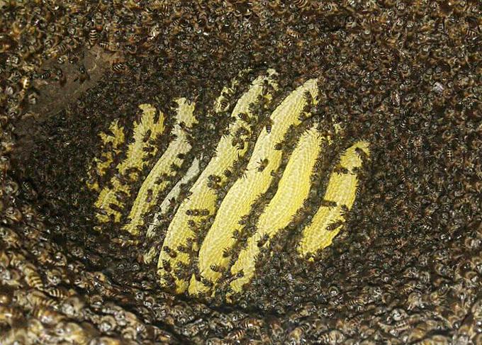 Clip: Săn mật ong rừng Tây Bắc - Ảnh 5.