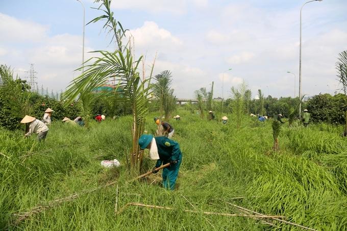 Công nhân mướt mồ hôi dọn 'rừng cỏ' đại lộ Thăng Long