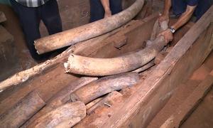 Đường vận chuyển ngà voi, sừng tê giác về Việt Nam