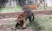 Đề xuất chuyển giao 11 con hổ ở Thanh Hoá cho trung tâm cứu hộ