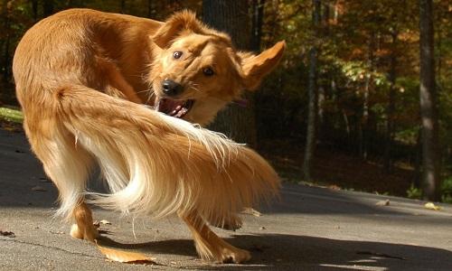 Tại sao chó hay xoay vòng tròn để cắn đuôi?