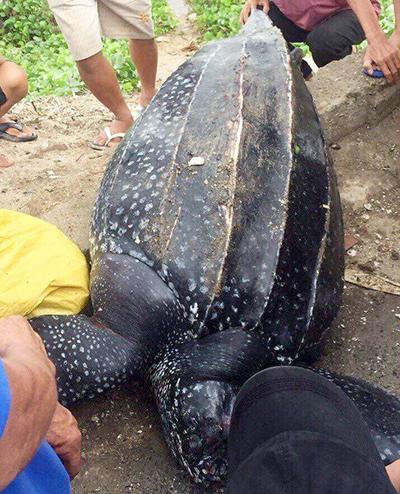 Rùa nặng gần 100 kg dạt vào bờ biển Khánh Hòa