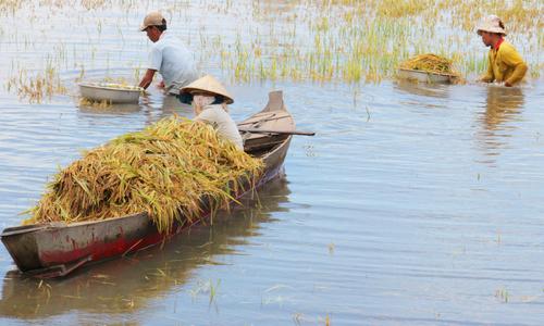 Nông dân Đồng Tháp Mười ngâm nước cả ngày gặt lúa chạy lũ