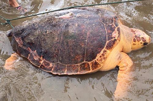 Rùa biển 70 kg vào gần bờ đẻ trứng ở Quảng Trị