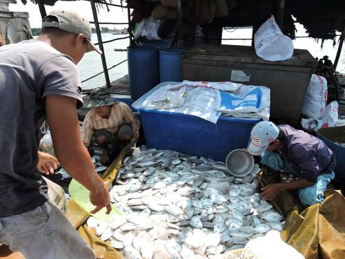 Cá chết ở làng bè Long Sơn được xác định do vi khuẩn gây lỡ loét. Ảnh: Xuân Thắng